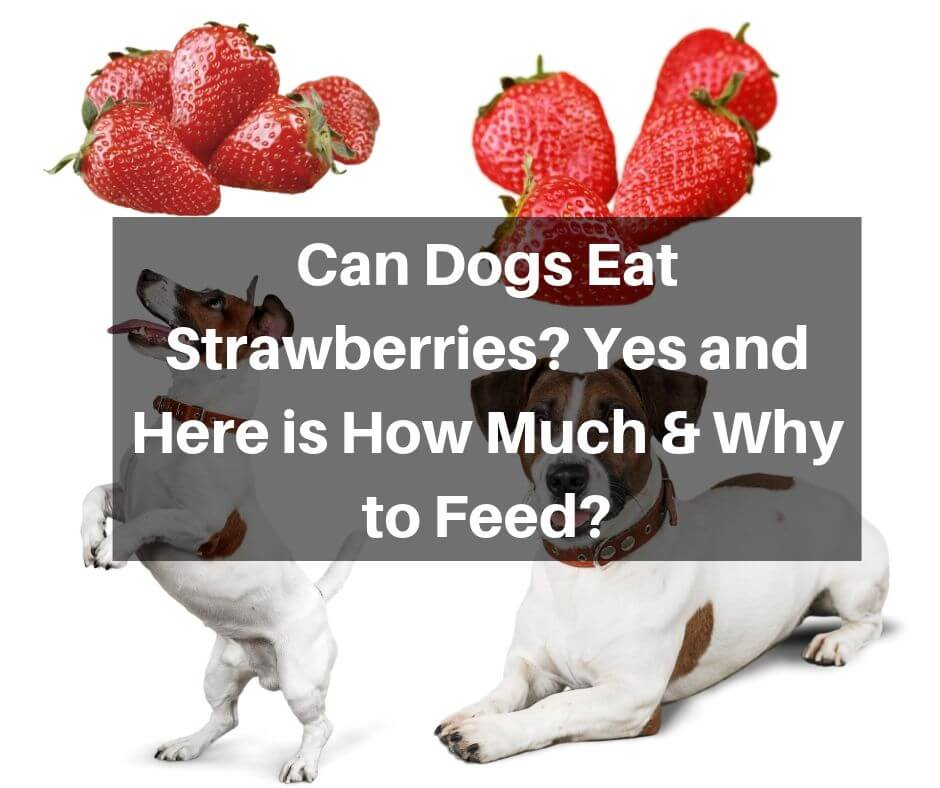 Can Dogs Eat Strawberries Yes and Here is How Much & Why to Feed