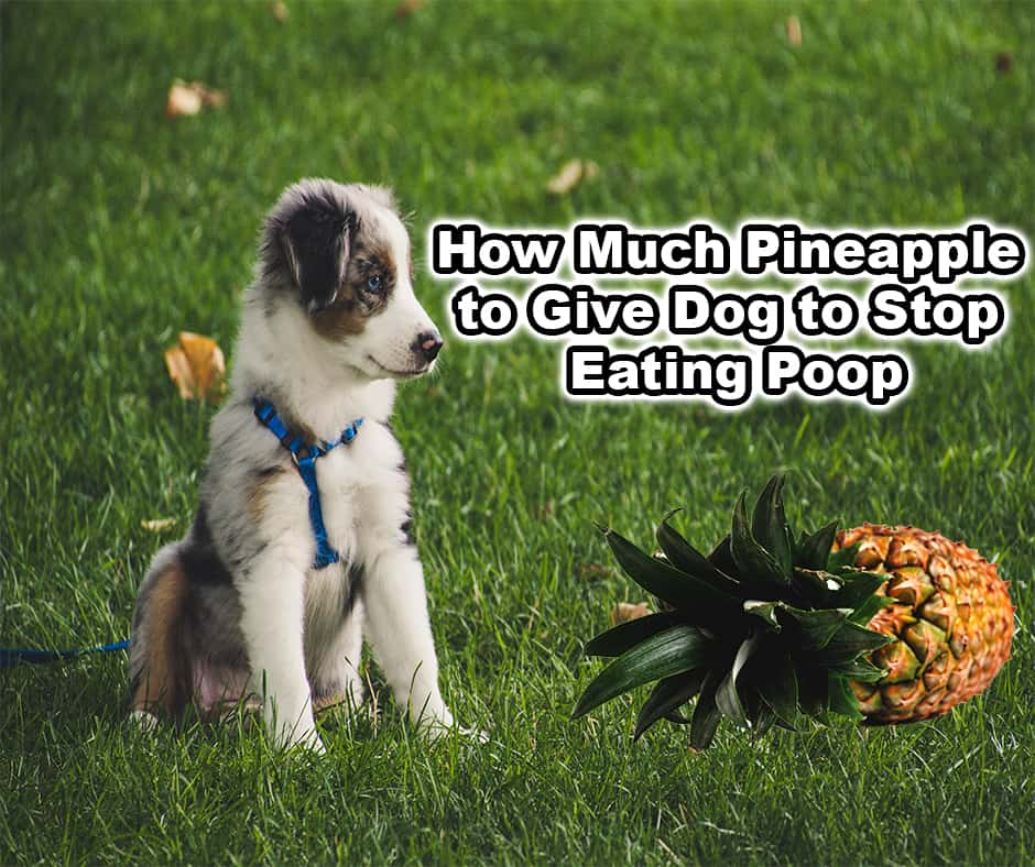 How Much Pineapple to Give Dog to Stop Eating Poop