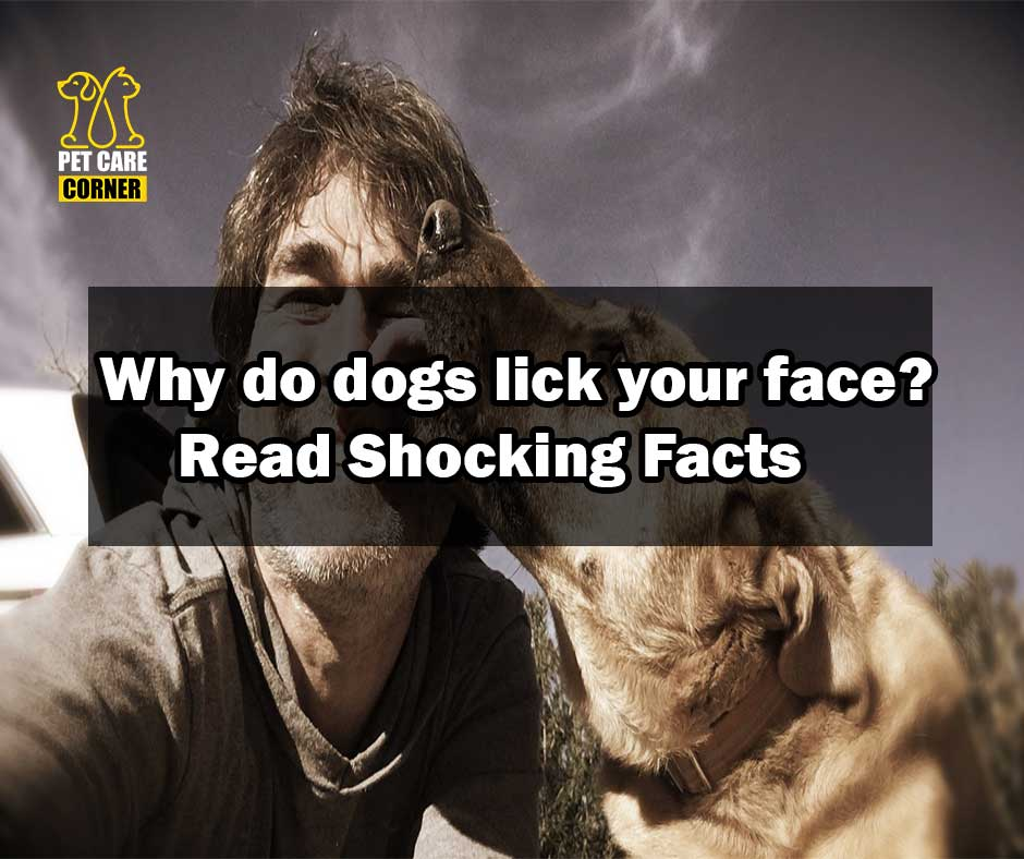 Why dogs lick your face
